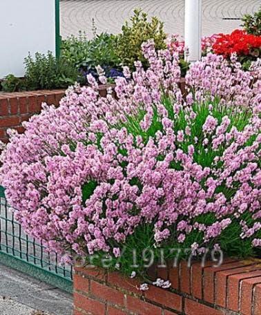 100 piezas semillas de vainilla, rosas raras semillas de lavanda, el hogar y la planta Jardín de Bonsais, desde el rosa lavanda Estados Unidos, : Amazon.es: Jardín
