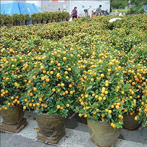 Bonsai semillas de frutas comestibles enanas, las semillas de la ...
