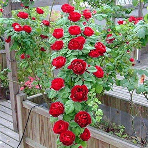 Polyantha Rose - Brand New! Red Climbing Plant Polyantha Rose Seeds DIY Home Garden Courtyard Pot Flower 100pcs