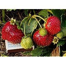 Everbearing Strawberry Seeds Temptation English Hybrid NON-GMO