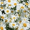 Shasta Daisy Seeds, Perennial Flower, 5000 seeds