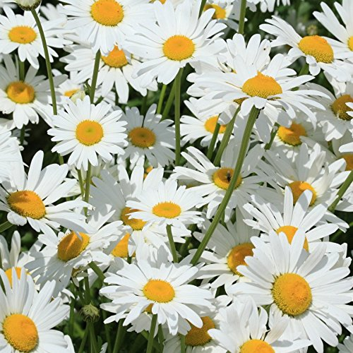 Partial Shade Perennial Flowers - Shasta Daisy Seeds, Perennial Flower, 5000 seeds