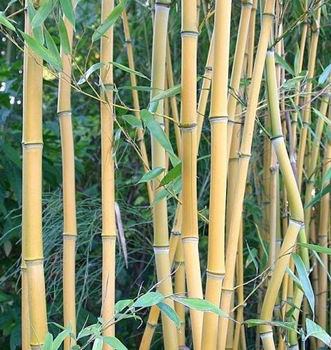 Box of 3 Phyllostachys Aureosulcata 'Lama Temple' Live Timber Bamboo Plant.
