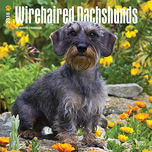 Wirehaired Dachshunds 2018 12 x 12 Inch Monthly Square Wall Calendar, Animals Dog Breeds (Multilingual (Wirehaired Dachshund)