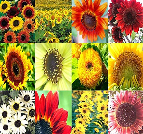 1LB (6,500+ Seeds) SUNFLOWER Sunny Sun Flower CRAZY MIX Sunflower Seeds – Non-GMO Seeds By MySeeds.Co (1 LB Sunflower Crazy Mix)