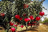 Wonderful Pomegranate Live Rooted Pollinated Ready Fruit Plant 16-20 inches Tall Granada Easy to Grow Ready for Planting from 5 Gallon Pot (1 Plant Pack)