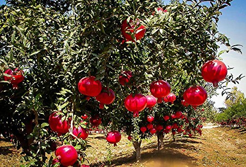 Wonderful Pomegranate Live Rooted Pollinated Ready Fruit Plant 16-20 inches Tall Granada Easy to Grow Ready for Planting from 5 Gallon Pot (1 Plant Pack) by High Desert Nursery