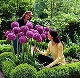Best Gardens - 100 Purple Giant Allium Giganteum Beautiful Flower Seeds Review