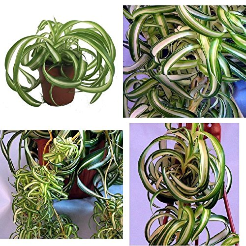 Bonnie Curly Spider Plant Easy Cleans Air 4'' Pot Indoor Houseplant Best Gift NEW