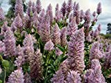 Fresh 30 seeds - Ptilotus Exaltatus Joey Flower Seeds