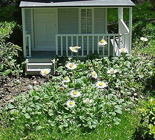 Worlds Smallest Daisy Bellium Garden