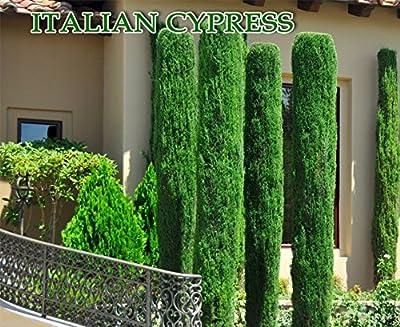 Italian Cypress (Cupressus Sempervirens)100 Seeds, Tuscan, or Graveyard Cypress ,