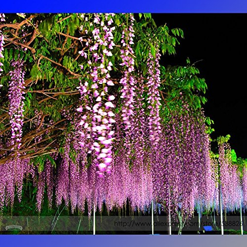2018 Hot Sale 100% Ture Heirloom Pink Wisteria Flower Seeds, Professional Pack, 100 Seeds/Pack, Light Fragrant Garden Climbing Plant Flowers