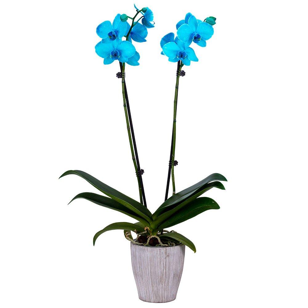 DecoBlooms Living Aqua Orchid Plant - 5 inch Blooms - Fresh Flowering Home Décor