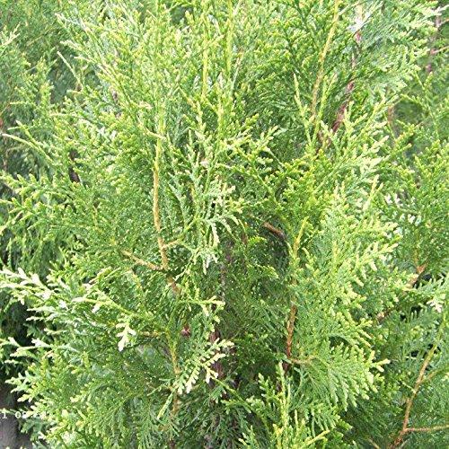 200 Stück Thuja occidentalis - (Abendländischer Lebensbaum)- Wurzelware 25-35 cm