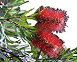 Little John Dwarf Bottlebrush Tree Live Plant Rare Miniature Flowering Shrub Bonsai Starter Size 4 Inch Pot Emerald Tm
