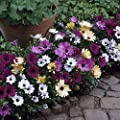 OSTEOSPERMUM ~White & Purple Mix~ [African Daisy} 20 + Annual Seeds