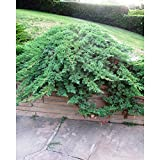 Savin Juniper aka Juniperus Sabina 'Calgary Carpet' Live Plant Fit 5 Gallon Pot