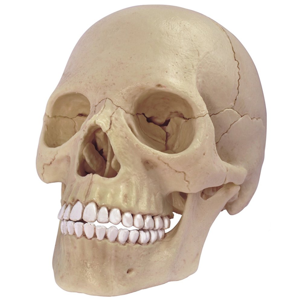 4D Master 26086 Human Anatomy Exploded Skull Model 3D Puzzle, One Color Getting Fit