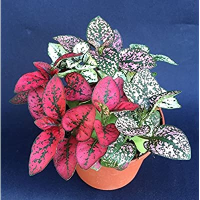 POLKA DOT PLANTS, HYPOESTES MIX COLORS, LIVE PLANTS SHIPPED IN THREE INCH POT! : Garden & Outdoor