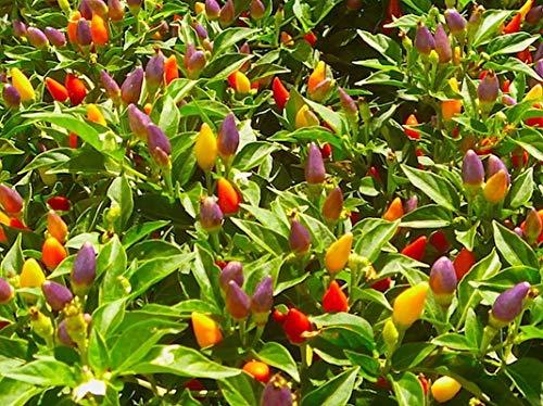 Numex Twilight Pepper Seeds (20 Seed Pack)