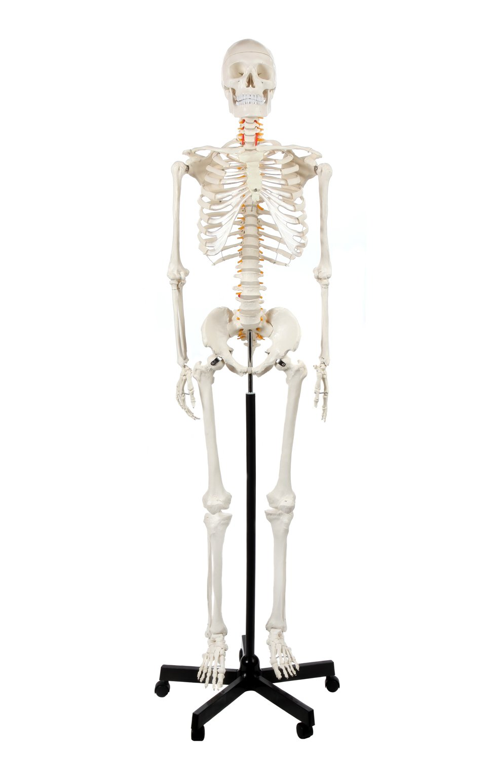 Axis Scientific Classic Human Skeleton with Study & Numbering Guide
