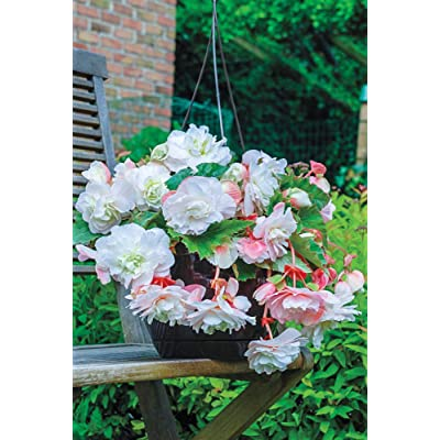 BRECK'S - Angelique Hanging Basket Summer Flowering Begonia - A Great Way to Display These White Summer Flowering Staples - Includes one Bare Root per Offer : Garden & Outdoor