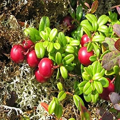 50+Seeds Mountain Cranberry Bush Seeds (Vaccinium Vitis-idaea)