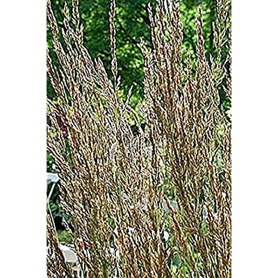 Ornamental Grass Seed - Calamagrostis Stricta Seeds : Garden & Outdoor