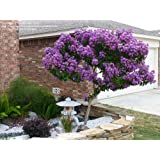 Catawba Crapemyrtle Tree (2-3 feet tall in gallon containers) Crape myrtle with purple blooms!