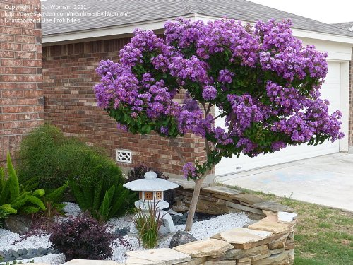 catawba-crapemyrtle-tree-2-3-feet-tall-in-gallon-containers-crape-myrtle-with-purple-blooms