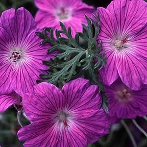 Plant World Seeds - Geranium Robustum 'Silver Cloak' Seeds