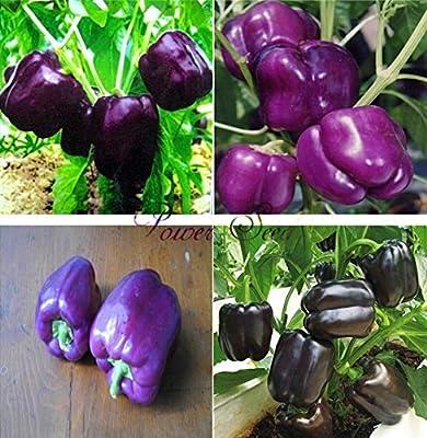 Bloom Green Co.., 100 Semillas de Pimiento Bastante Pãºrpura - Muy ...