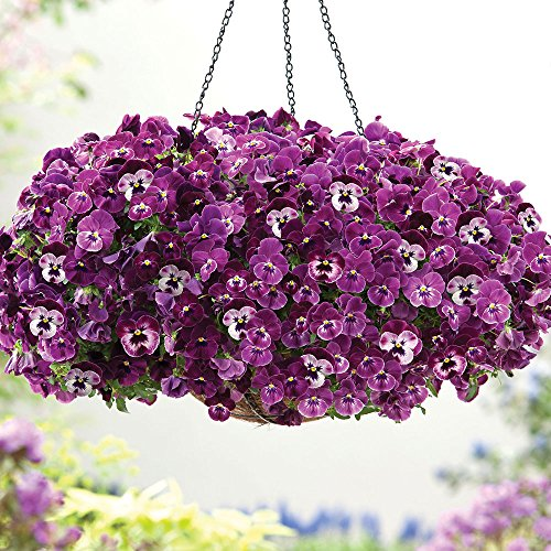 Trailing Pansy - Cool Wave Raspberry - Flower Seeds - 100 Seeds