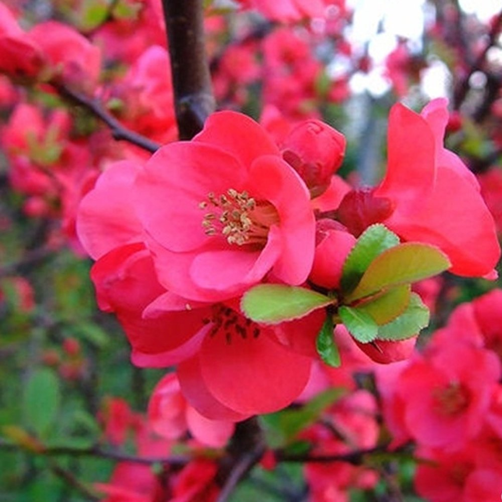 1 X CHAENOMELES 'PINK LADY' JAPANESE QUINCE DECIDUOUS HARDY SHRUB PLANT IN POT Gardener's Dream