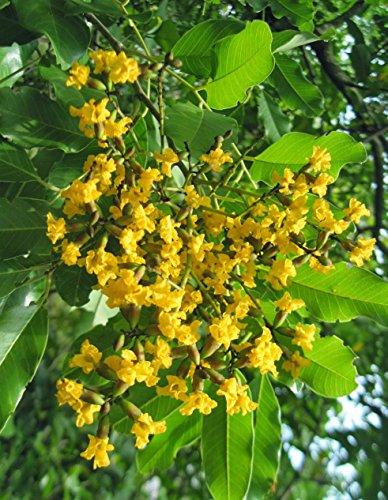 SEEDseller Rare Ayurvedic Medicinal Pterocarpus Marsupium Malabar Kino, Benga, Kempu Honne Tree Seeds for Growing -15…