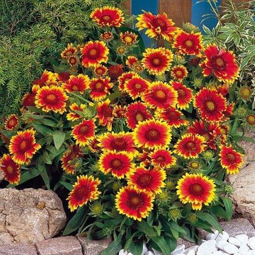 50 seeds of Gaillardia - Goblin * Sun Worshiper * High Heat Tolerant * E-z to Grow *