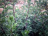All Good Things Organic Seeds Oriental Mugwort Seeds (~200): Non-GMO, Certified Organic Heirloom Seed Packet