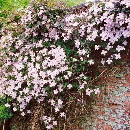 Country Garden Classic Rare 50pcs Clematis Climbing Plants Evergreen Woodland Vine Hardy Perennial Flower Seeds for terraces pergolas or conservatories Yukio SEED CORNER