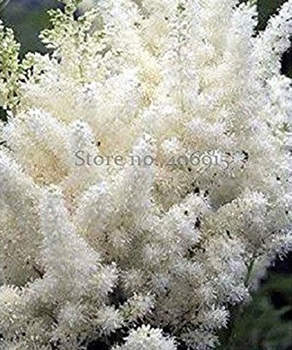 Seeds Market Rare Beautiful White Astilbe Chinensis Flowers 50 seeds, false spirea illuminate your garden