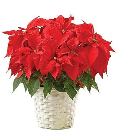 amazon com poinsettia plant fresh cut format mixed flower