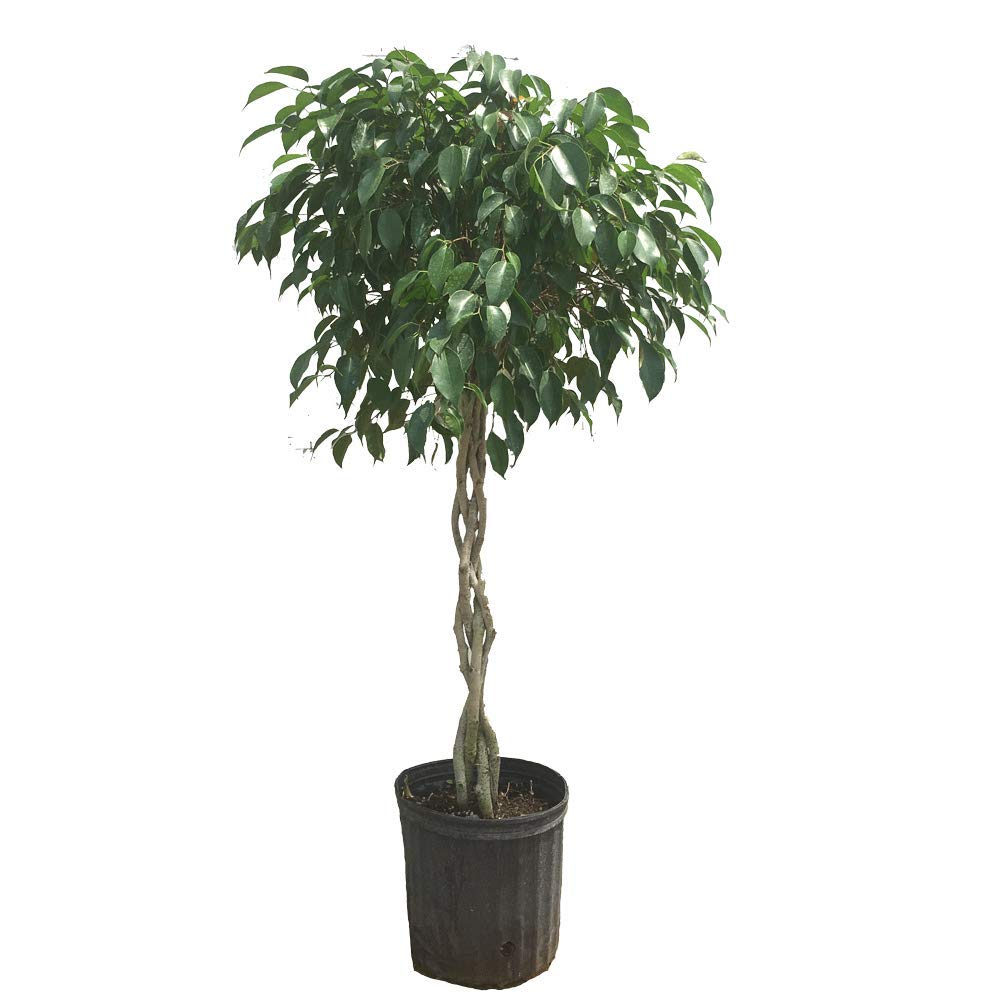 Benjamina Ficus Tree- 3-4 feet tall in 3 Gallon Pot- Unique Potted Tree, Perfect as a Patio Plant or Indoor Tree