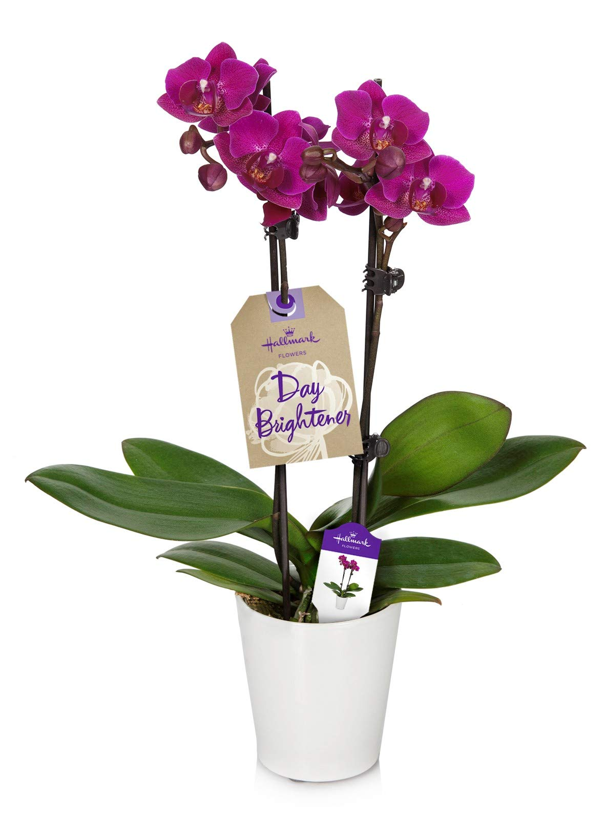 Orchid Flower Plant, Purple in 3-Inch White Ceramic Container, From Hallmark Flowers
