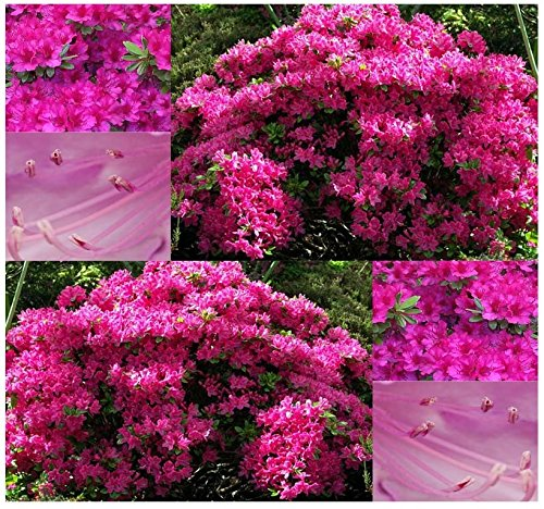 300 x Rose Azalea - Rhododendron rosea SEEDS - GREAT FOR ACCENT AND GENERAL USE - ZONE 5 AND UP - By MySeeds.Co - 5 X Azalea
