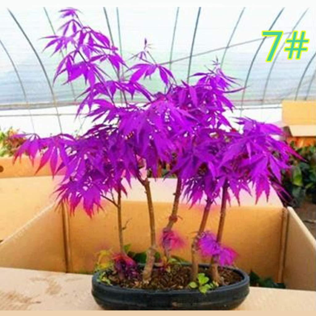 20 Unidades Maceta de Flores de Madera de Arce Haorw Kafen dise/ño de bons/ái con Semillas de Arce