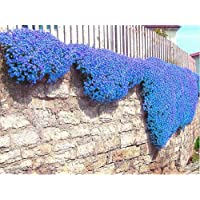 100pcs/bag Creeping Thyme Seeds or Blue Rock Cress Seeds Perennial Ground cover flower, Natural growth for home garden 10