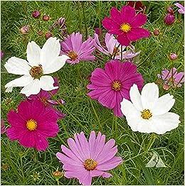 Cosmos Sensation Mixed Annual Garden Flower 150 Seeds Amazon Co Uk Books