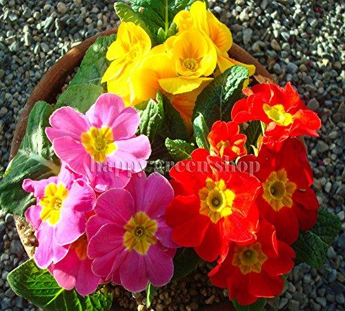POLYANTHUS  PACIFIC STRAIN  Primrose Primula elatior  160 seeds