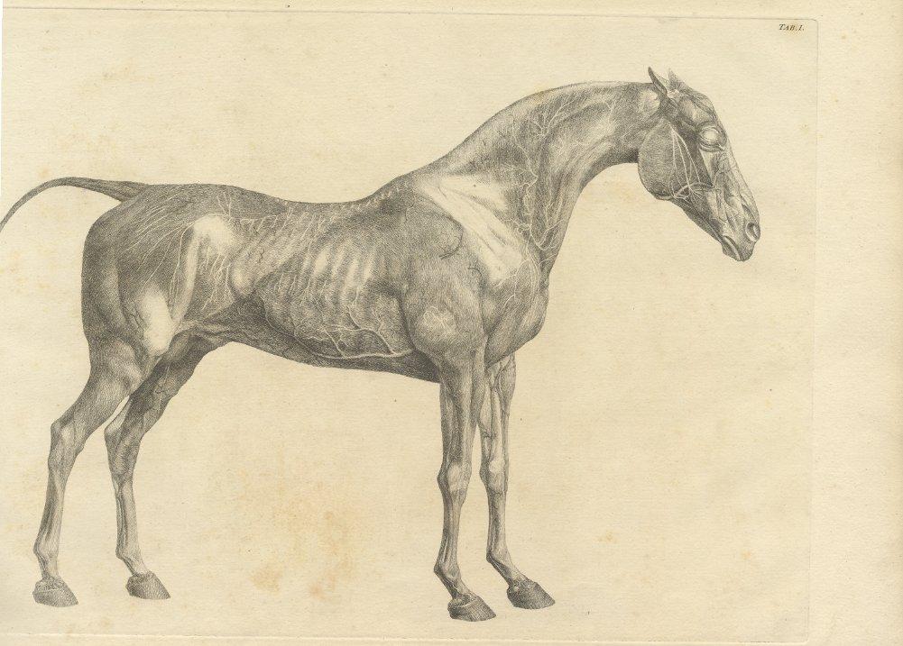 Amazon.de: Vintage Anatomie Pferd Seite Blick von der Anatomie des ...