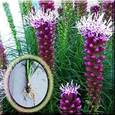 """Fresh"" Purple Blazing Star Liatris Spicata Gayfeather 10 Plant Large Bulb: Garden & Outdoor"